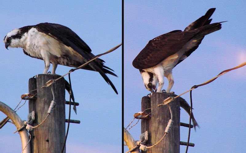 Osprey and supper...