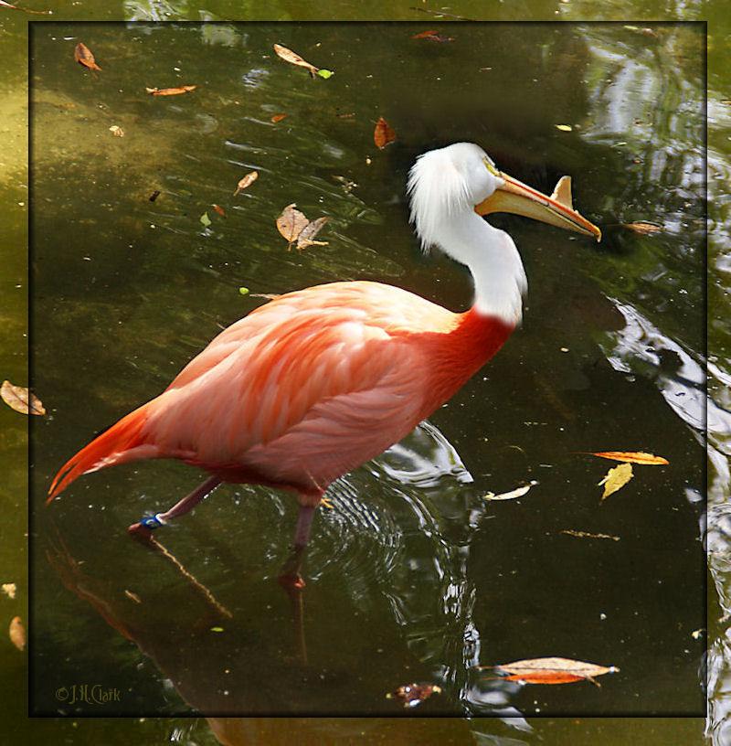 Silly Fla-pelican for Gabriela