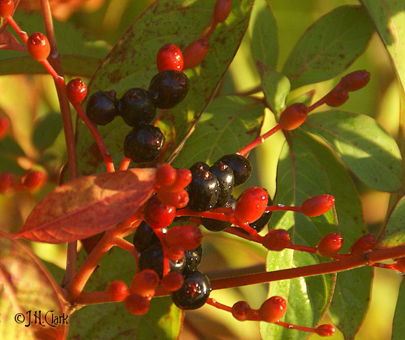 Bird food in the Firebush...