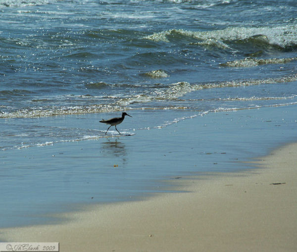 A Sandpiper doing its thing...