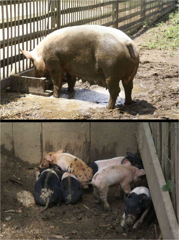 Silly sow & her piglets...