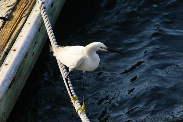 Silly Snowy Egret...