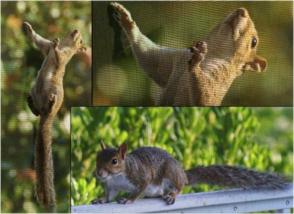 brooksville florida screen-door squirrel