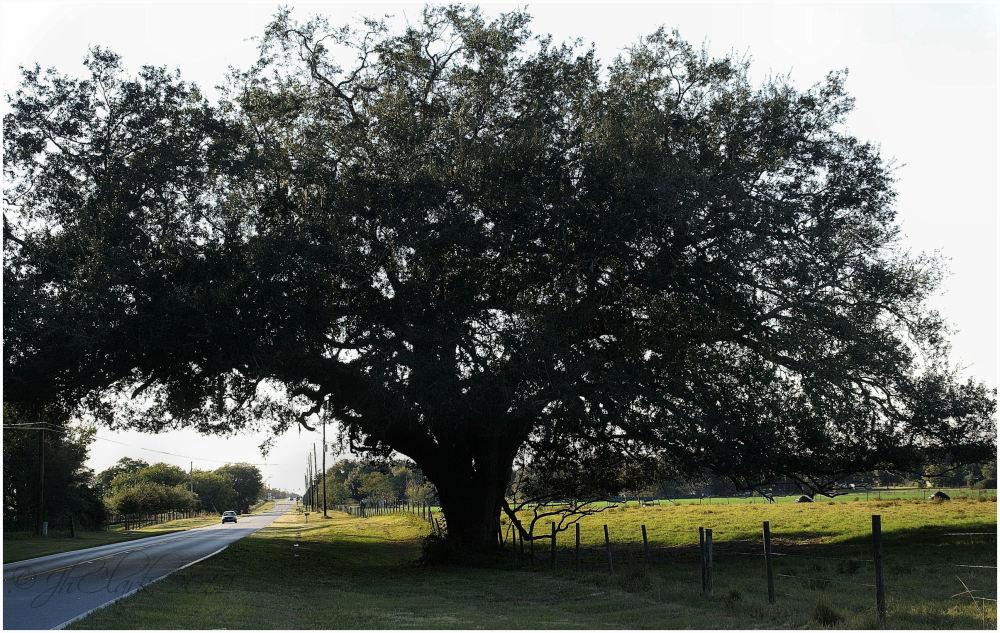 Old Oak...
