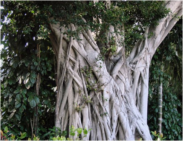 Banyan tree II ...