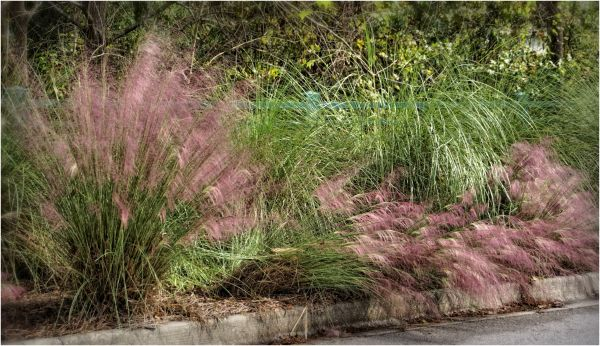 Feathery Pink Grasses...