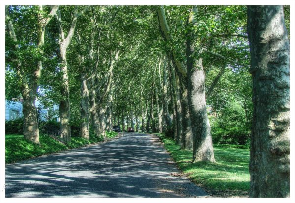 Buttonwood trees...