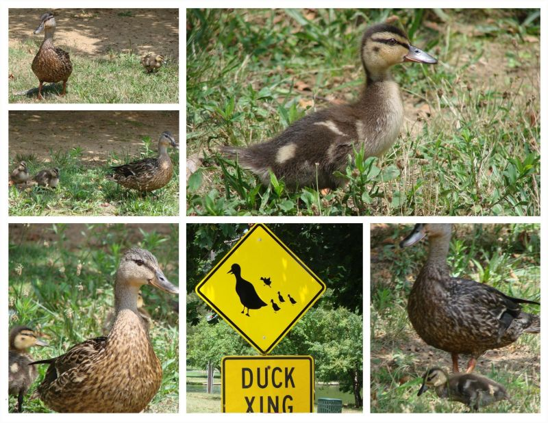 Ducks in New Jersey can Read!