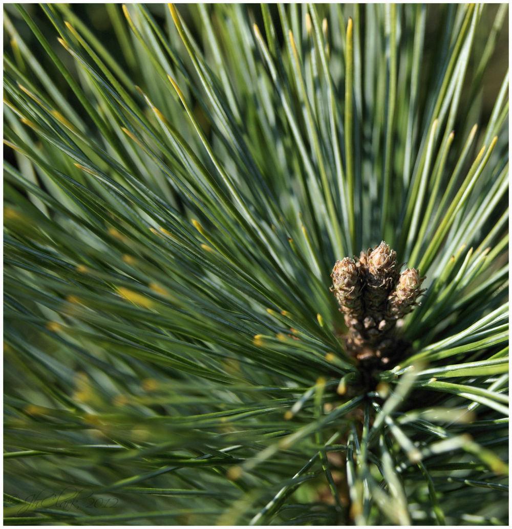 Long needled pine...