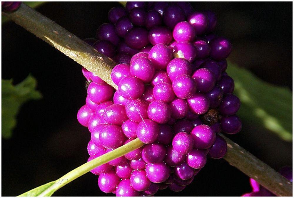 Beautyberry (Callicarpa) Bush...