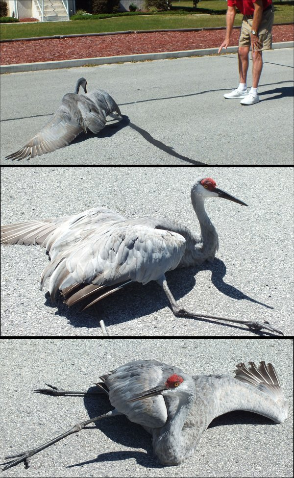 Injured Sandhill Crane...