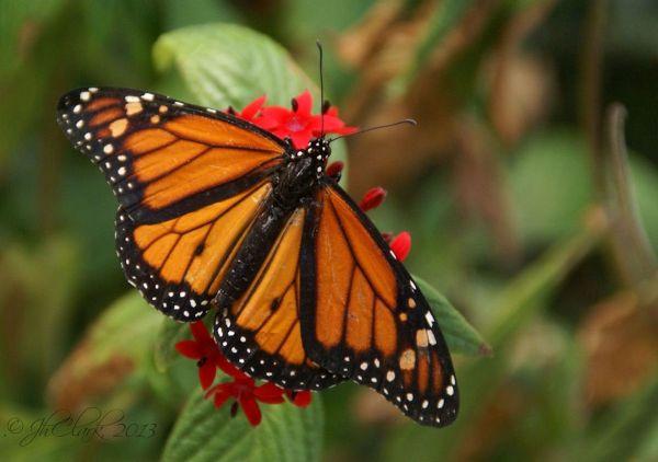 Gorgeous Monarch...