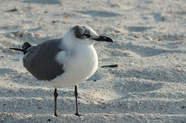 Treasure Island Gull...
