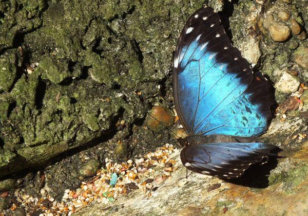 Blue Morpho...