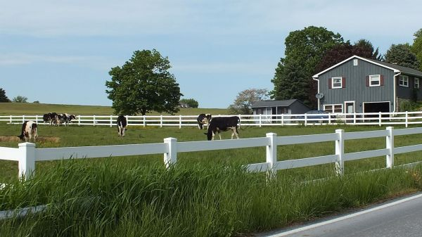 Cows in Ronks, PA...