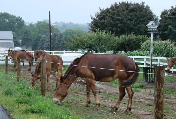 Mules on a misty morning...