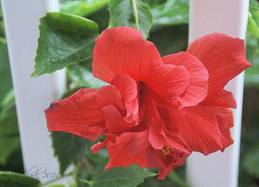 January's double Hibiscus... (3/4)