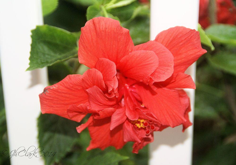 January's double Hibiscus... (4/4)