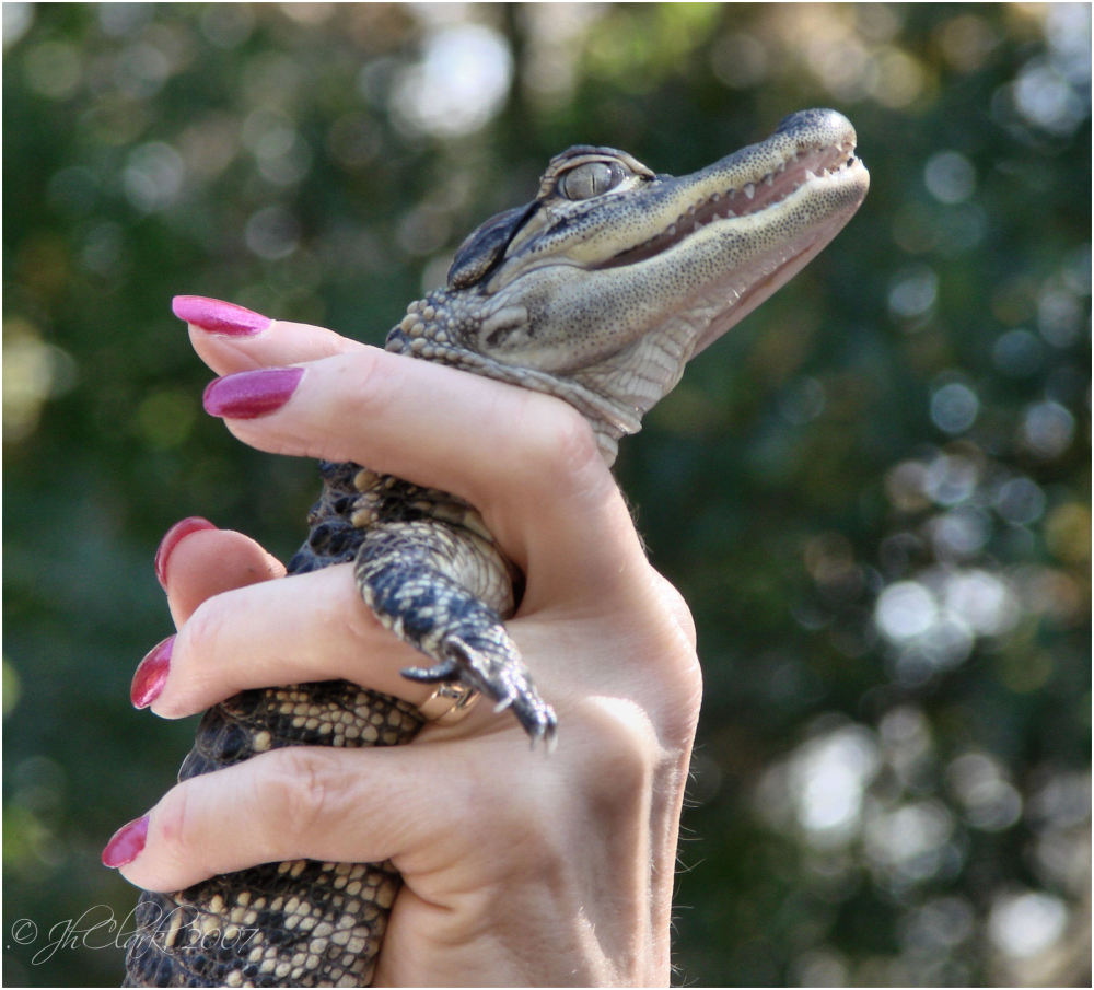 Baby Gator...