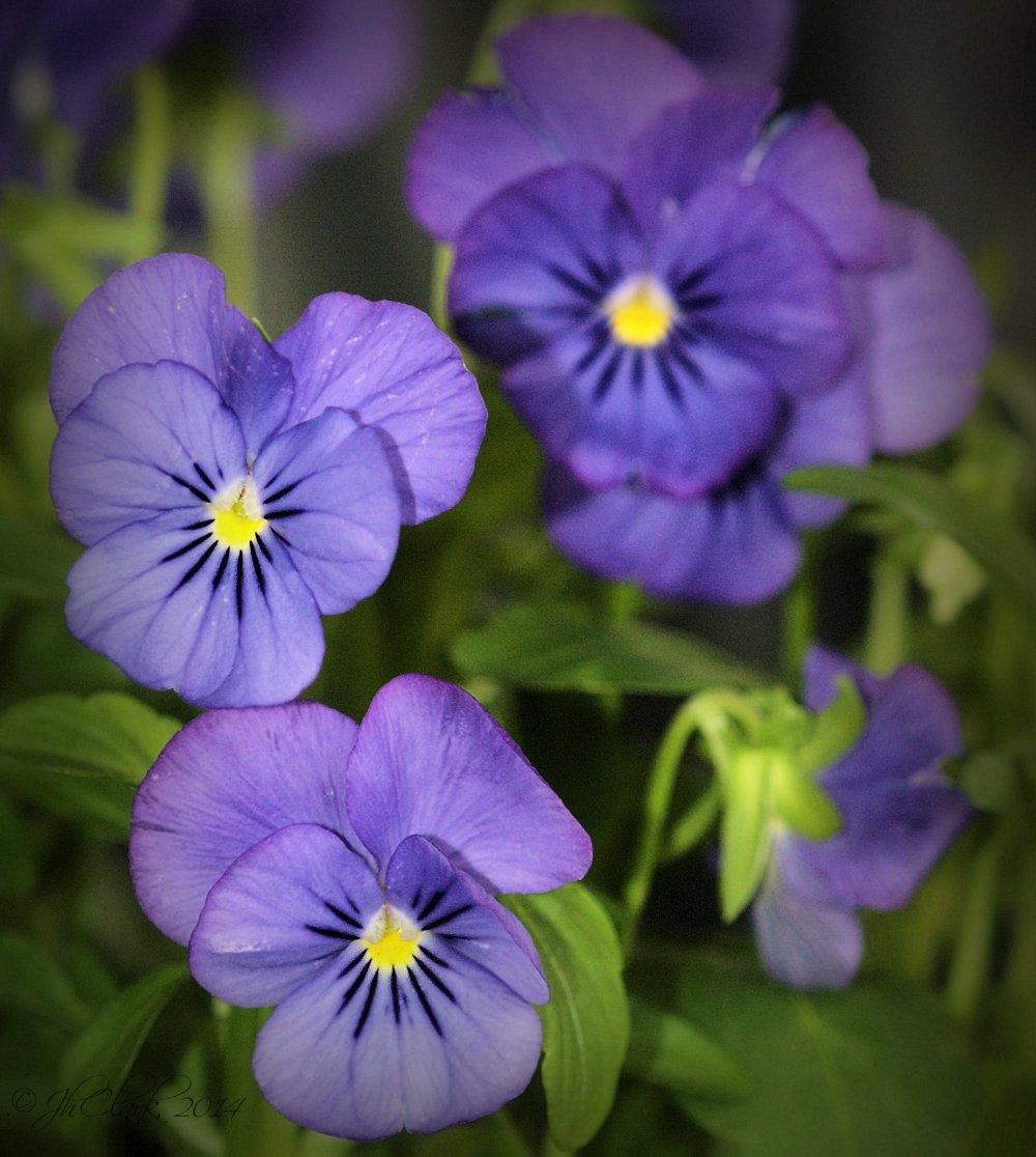 Violas...