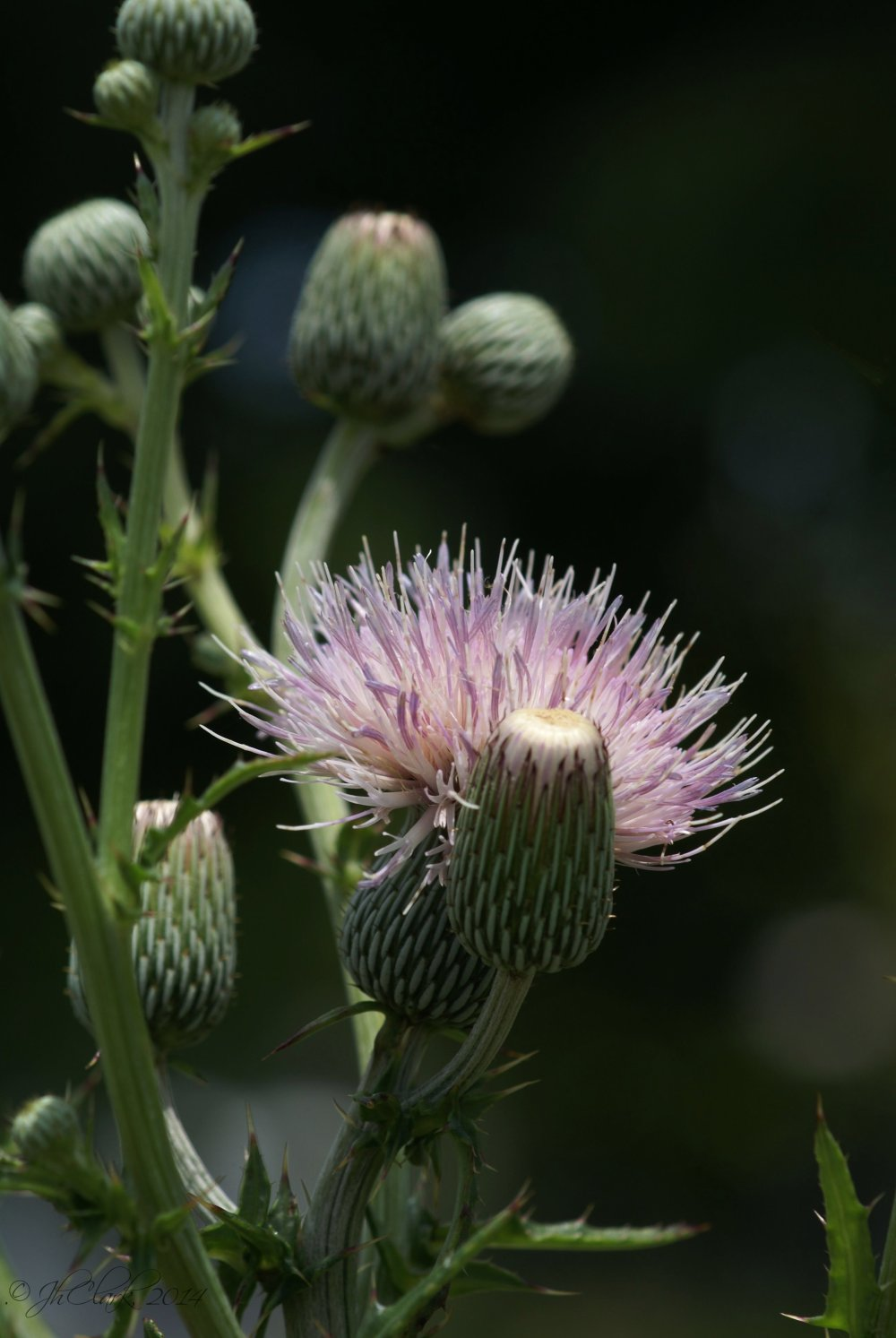 Thistle in bloom...