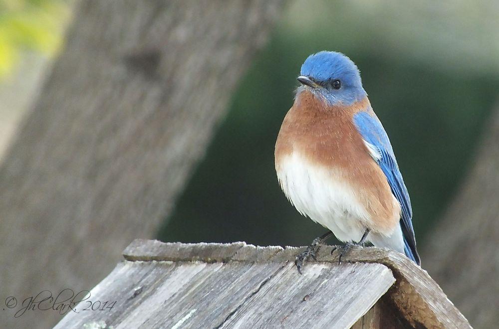 Bluebird... 3/3