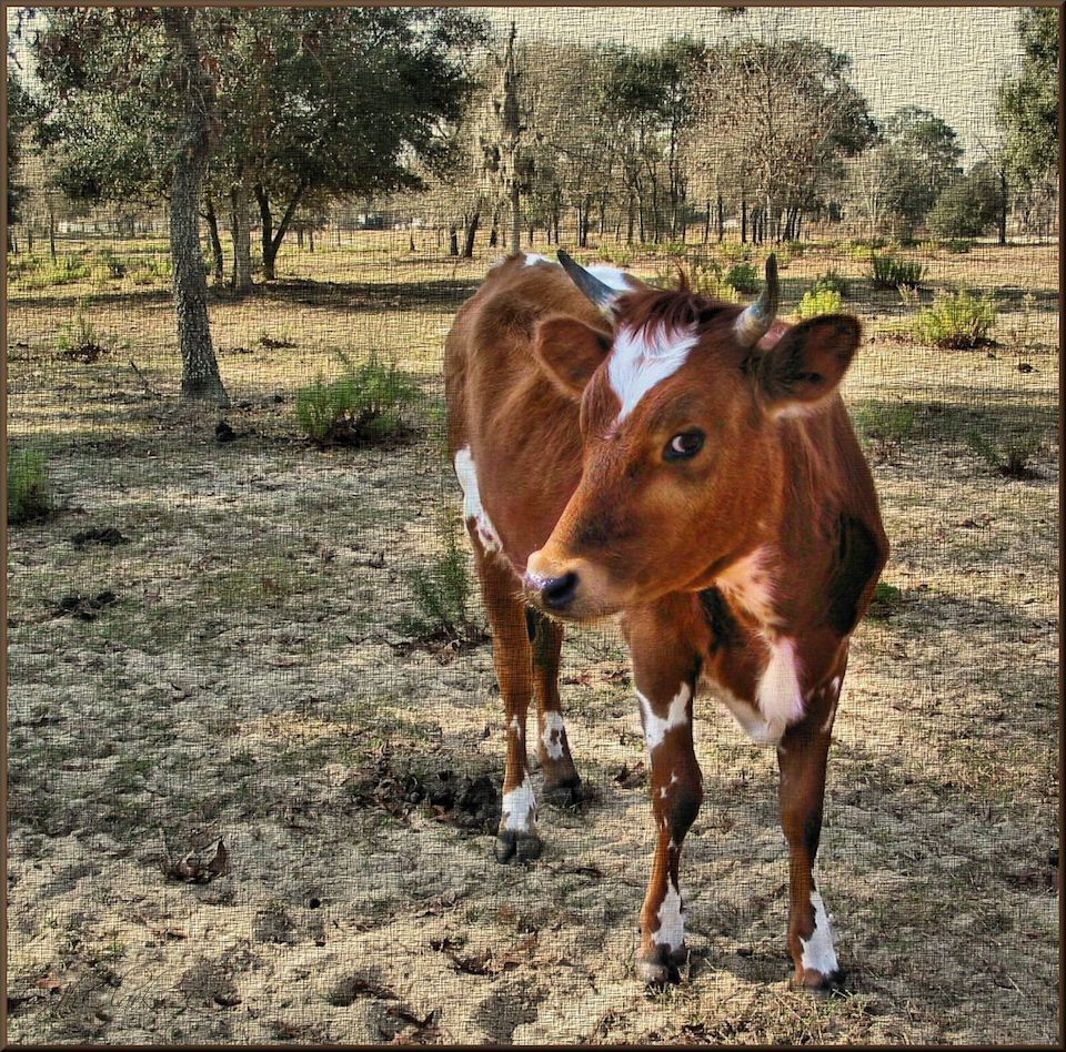 Coy brown cow...
