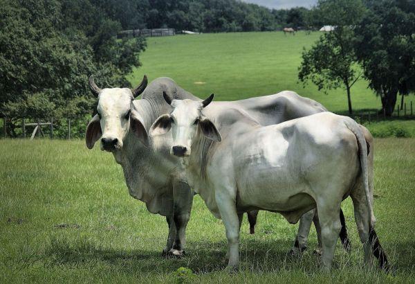 Statuesque Brahma bull...