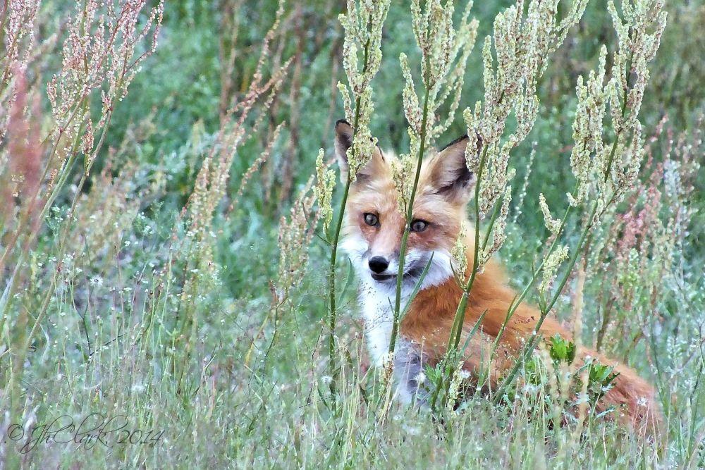 Springtime Fox...