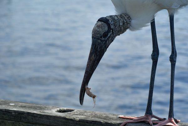 Wood Storks like shrimp...