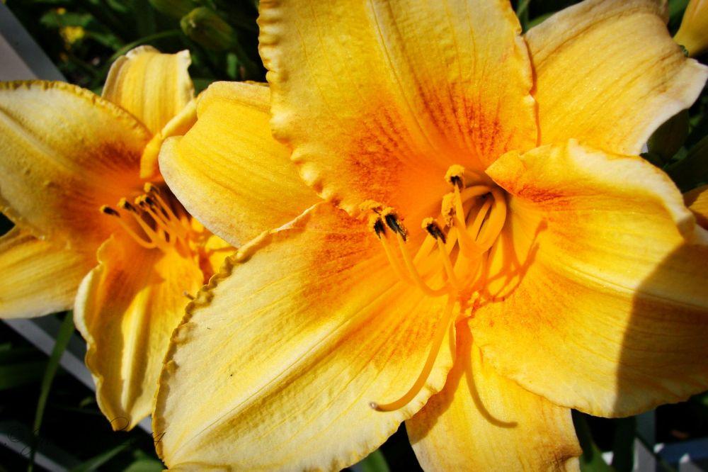 Golden beauty...