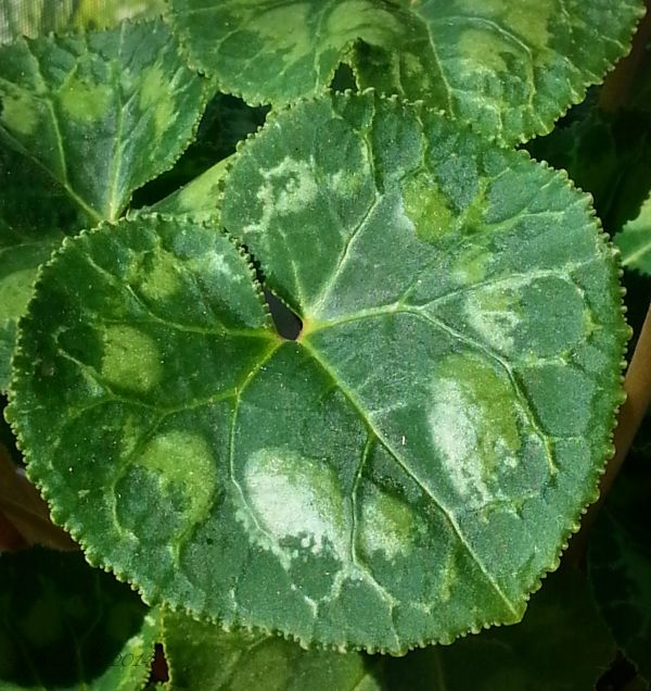 Cyclamen Leaf...