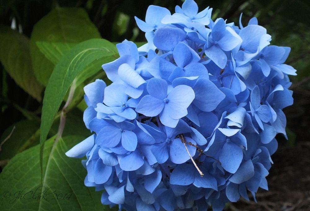 Hydrangea Blue II...