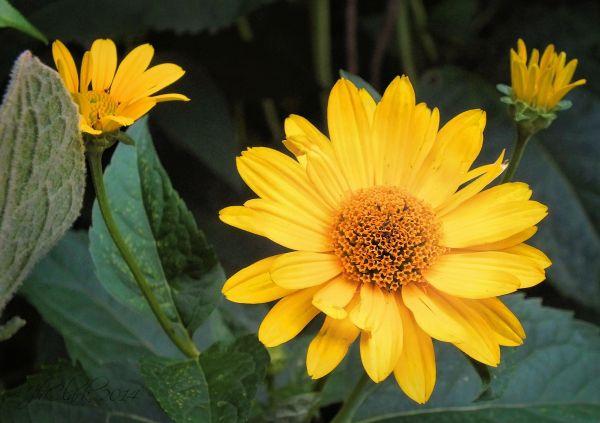 Nancy's yellows...