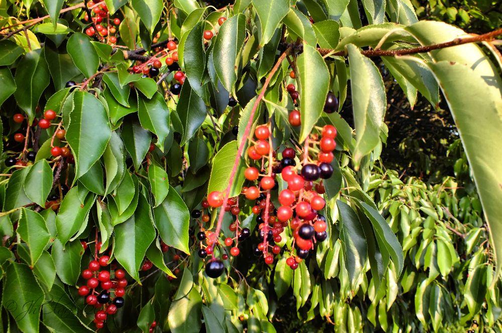 I think these are choke cherries.