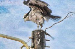 Not-so-silly Osprey...