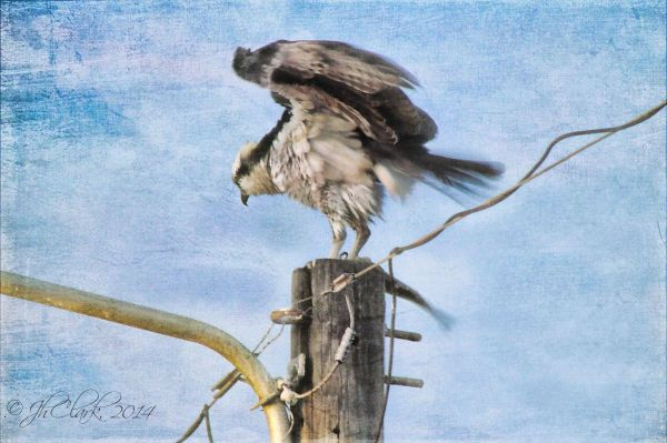 Not-so-silly Osprey...