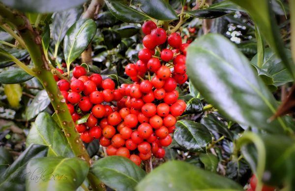 Holly berry heart...