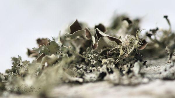 Lichen macro 3/4
