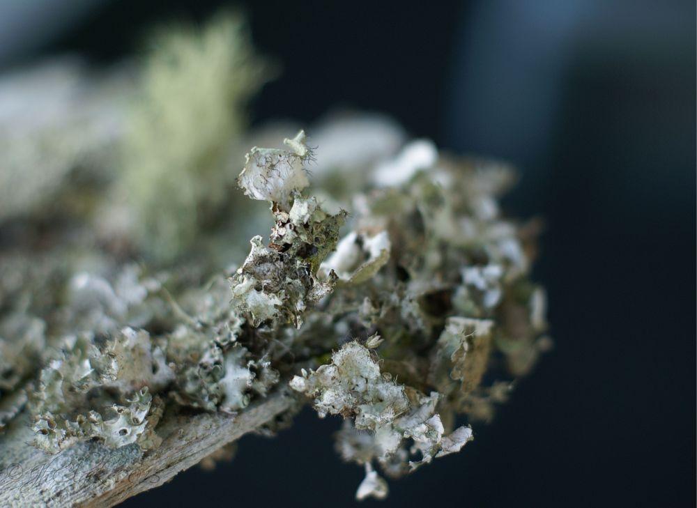 Lichen macro...
