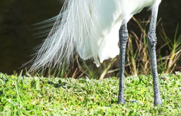 Great Egret 2/2