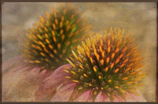 Coneflower love...