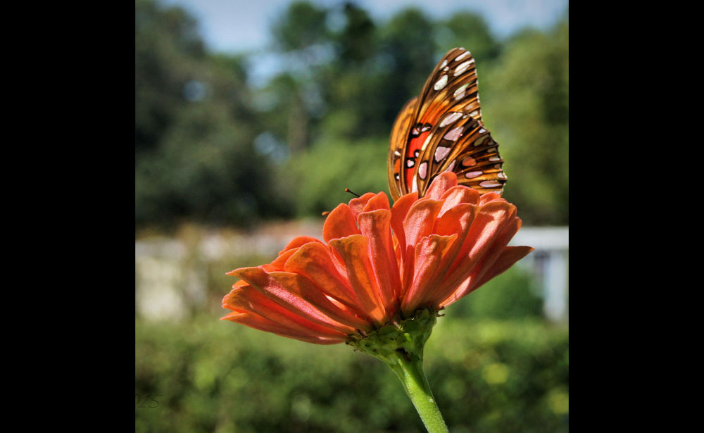 Gulf Fritillary on Zinna...