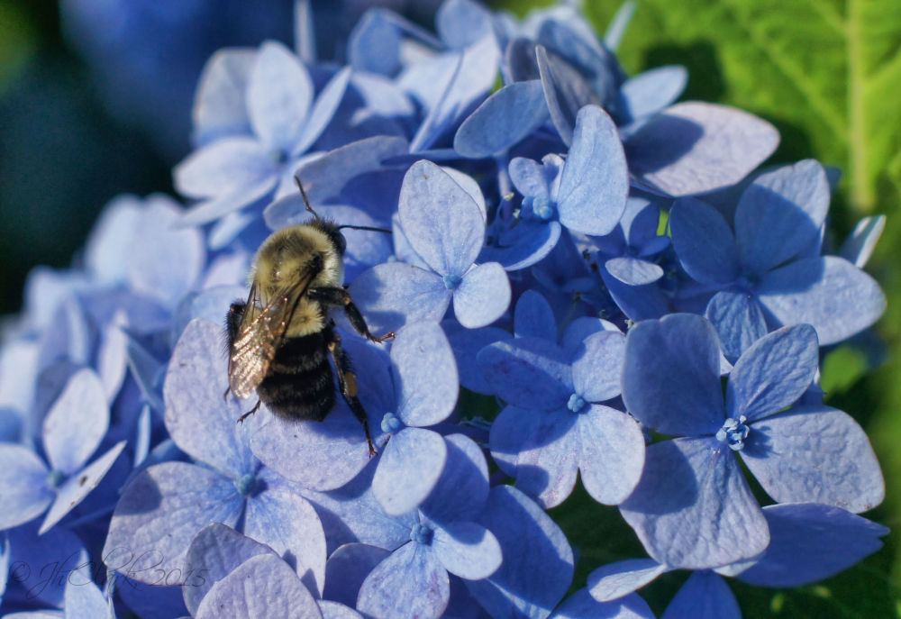 B is for Blue & Bee too...
