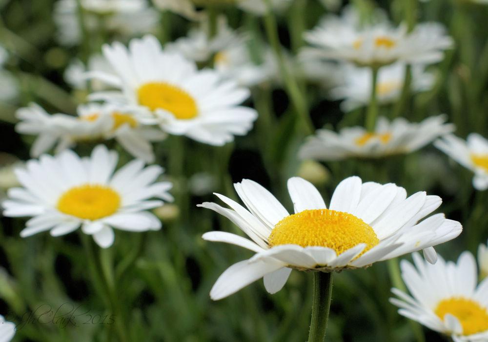 I love daisies...
