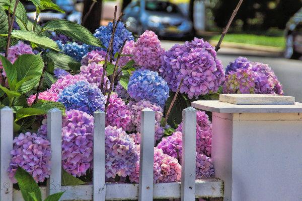 Hydrangeas in town...