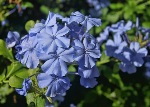 My beloved Plumbago...