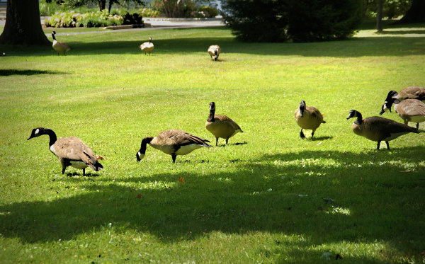 Handsome Canada geese...