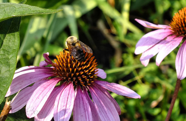 Bee 'n coneflower...