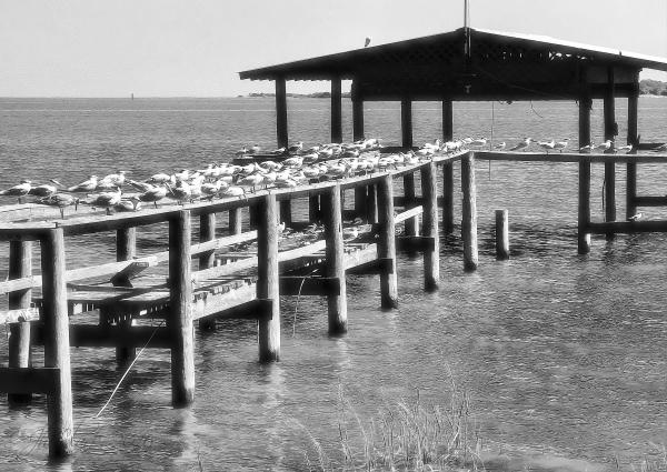 Infrared Gulls on Cedar Key...